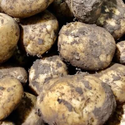 Potatoes Roosters/Kerrpinks