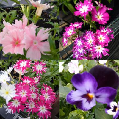 Edible Flowers Punnet