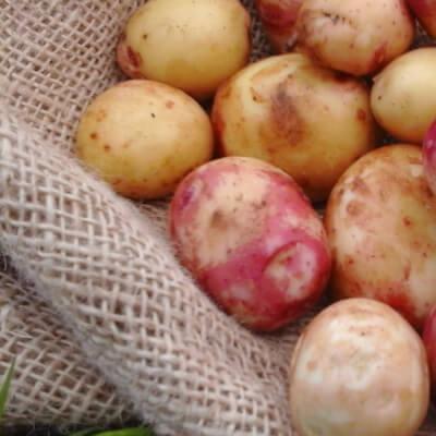 Organic New Potatoes Carolus