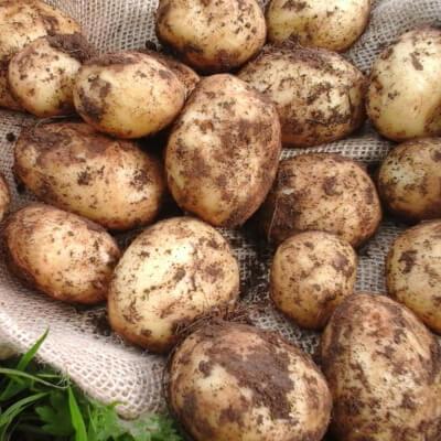 Organic New Potatoes Orla