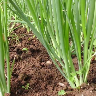 Organic Spring Onions(Scallions)