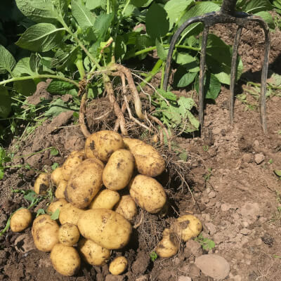 Organic Early Potatoes