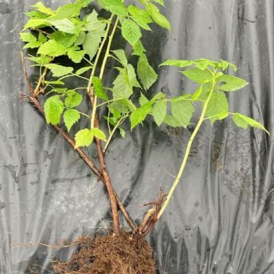 Organic Raspberry Plant