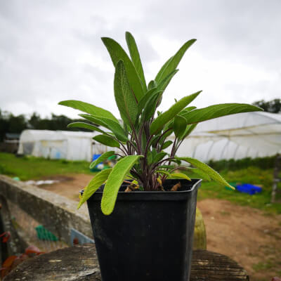 Organic Sage Plant