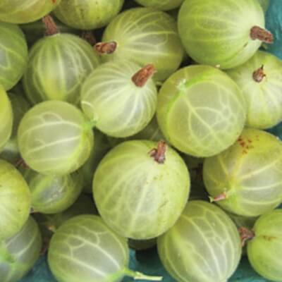Organic Gooseberries