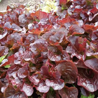 Red Oak Leaf Lettuce Head