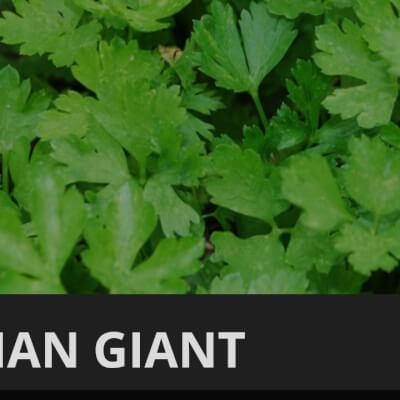 Organic Flat Parsley
