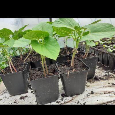 Organic French Bean Plant
