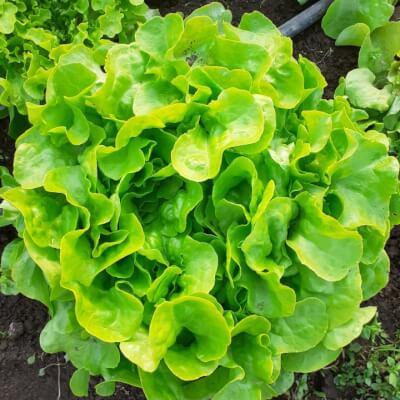 Green Oak Leaf Lettuce Head
