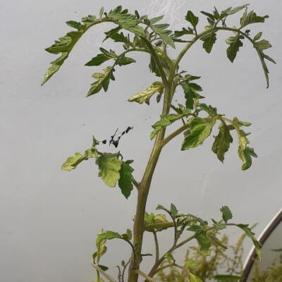 Organic Tomato Plant. Variety: Green Zebra