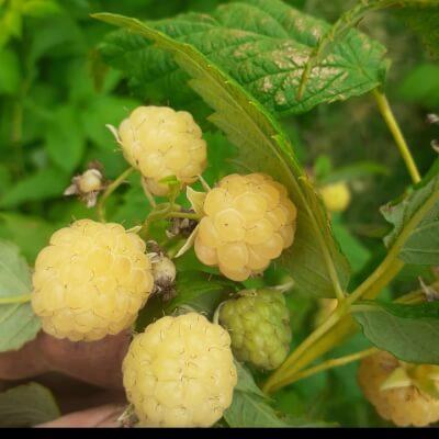 Organic White Raspberries