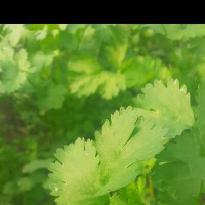 Organic Corriander - Fresh Herb