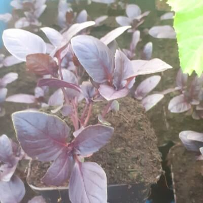 Organic Purple Basil Plant