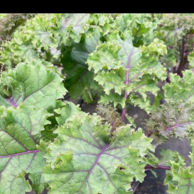Organic Redbor Kale