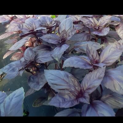 Organic Purple Basil Petra