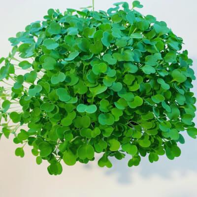 Live Microgreens-Brassica Tray