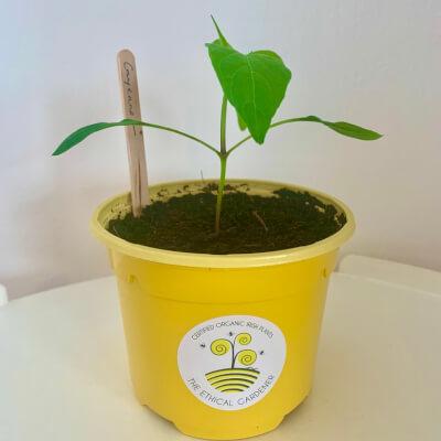 Organic Cayenne Pepper Plants (10Cm Pot)