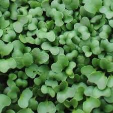 Live Microgreens Broccoli Tray