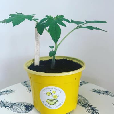 Organic Gardener's Delight Tomato Plant