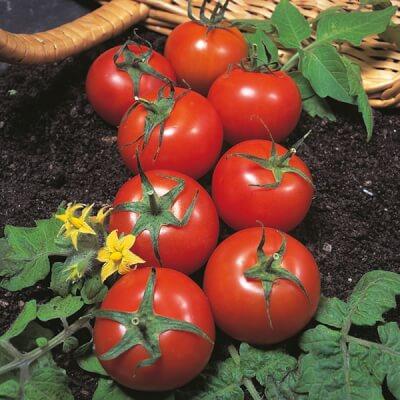 Organic St. Pierre Tomato Plant (10Cm Pot) €4.25