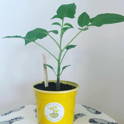 Organic Yellow Submarine Tomato Plant