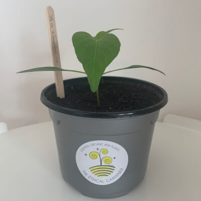 Organic Yola Wonder Pepper Plant (10Cm Pot)