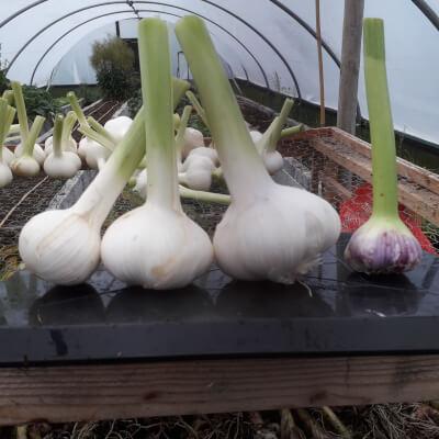 Elephant Garlic (Fresh/Green)
