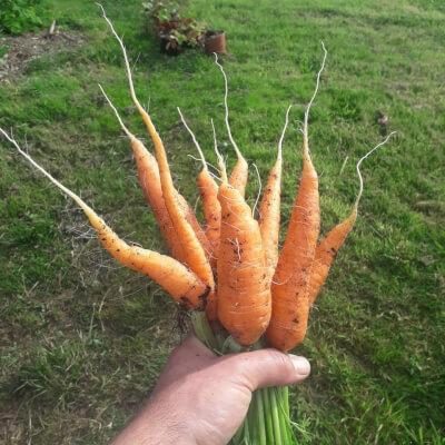 Carrots - Nantes
