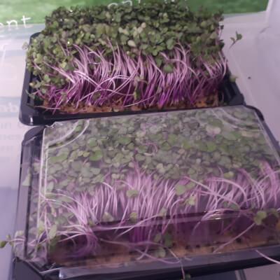 Kale 'Red Russian' Microgreens