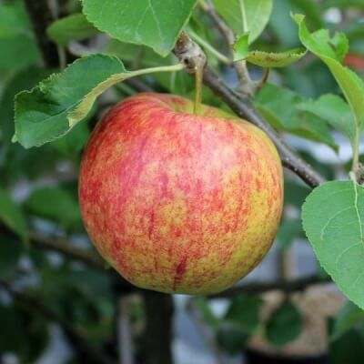 650G Braeburn  Apples (Holland)