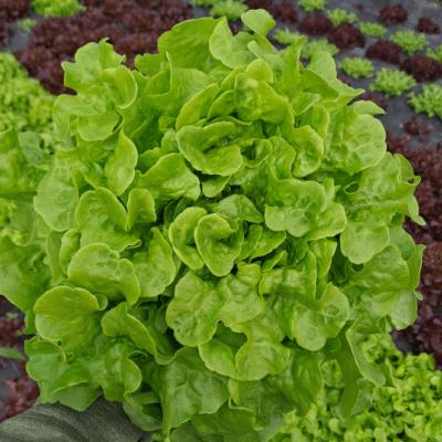 Green  Lettuce - Galway Grown