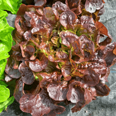 Red Lettuce Galway