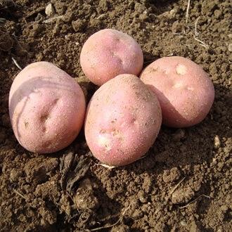 Rooster Potatoes 2Kg Fásta In Eireann