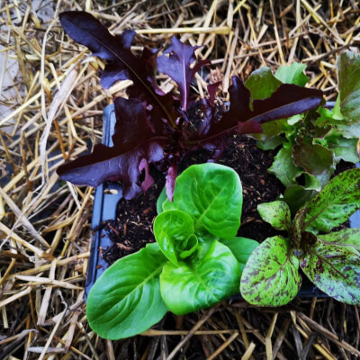 Organic Lettuce Sets