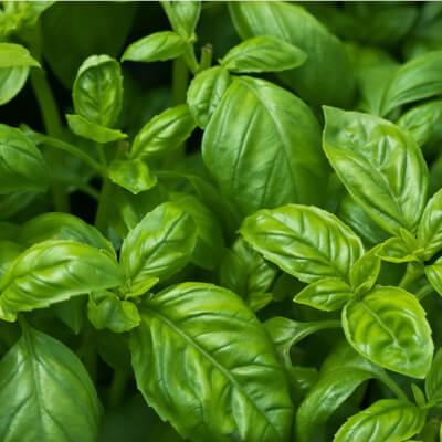 Organic Basil Pot