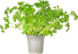 Organic Curley Parsley