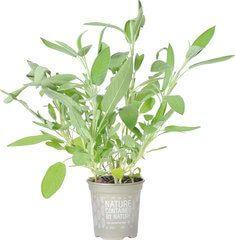 Organic Sage Herb Pot