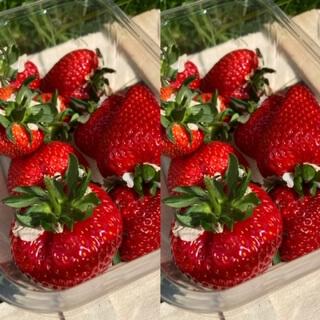 Strawberries  Scottish X 2 Bigger Pack
