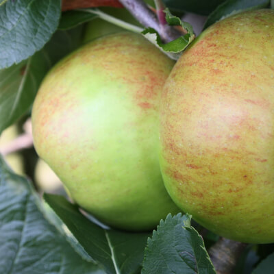 The Apple Farm Bramley Cooking Apples