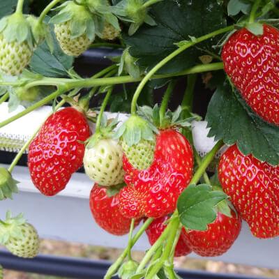 The Apple Farm Strawberry Punnet