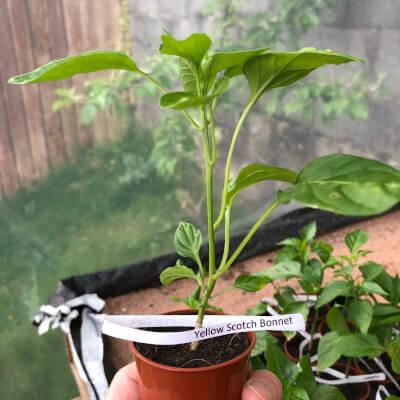 Chilli Plant Small - Yellow Scotch Bonnet 200,000 Shu