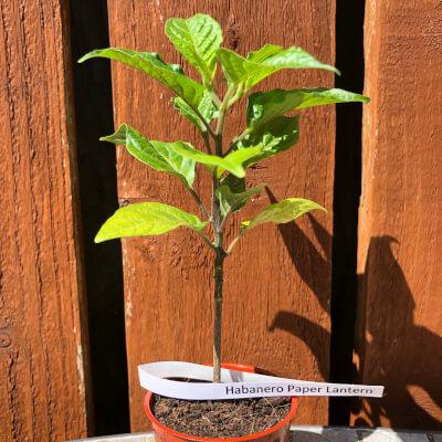 Chilli Plant Small - Habanero Paper Lantern - 100,000 Shu