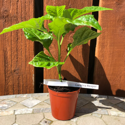 Chilli Plant Small - Carolina Reaper - 2,000,000 Shu