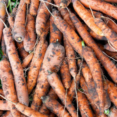 Organic Dirty Carrots Grown In Wiltshire