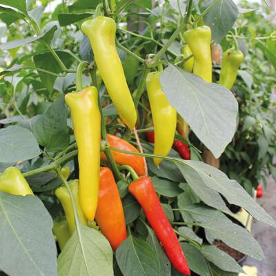 Organic Chillies Grown In Somerset