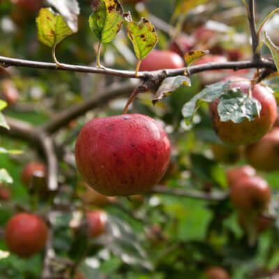 Apples Fiesta From Vallis Veg