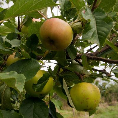Apples Sunset Grown At Vallis Veg