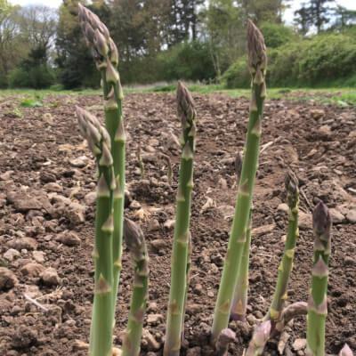 Organic Asparagus Grown In Wiltshire