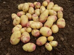 Potatoes (Carolus)