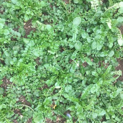 Land Cress Grown At Vallis Veg